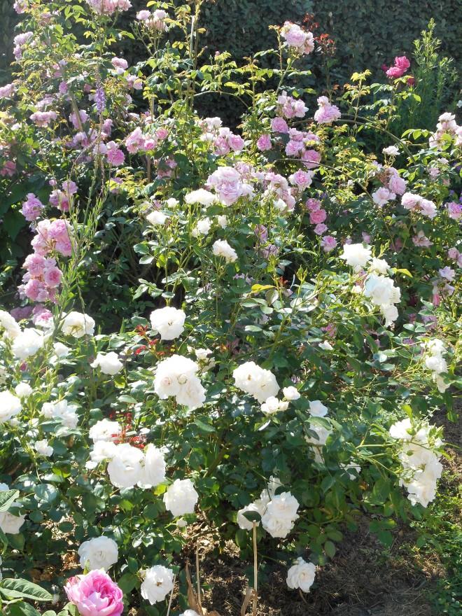 Aspirine rose et Ispahan