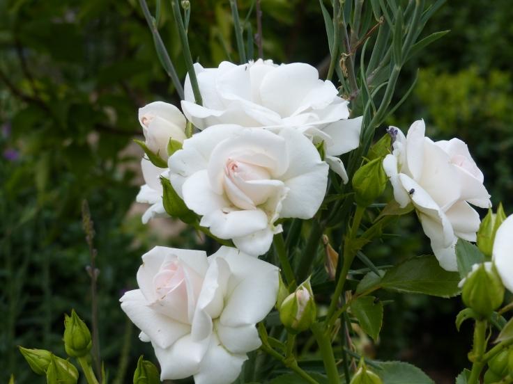 Asppirine rose
